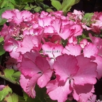 Hydrangea macrophylla French Cancan