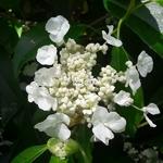 Hydrangea seemannii (1)