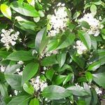 Hydrangea seemannii (2)