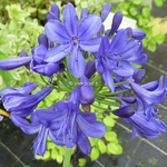 Agapanthus Navy Blue (1)