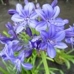 Agapanthus Navy Blue (2)