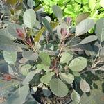 Cotinus coggygria Lilla (2)