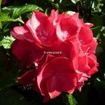 Hydrangea macrophylla Baroque Angel (1)