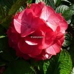 Hydrangea macrophylla Baroque Angel (2)