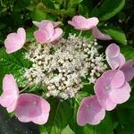 Hydrangea macrophylla Bejing (1)