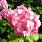Hydrangea macrophylla Dolce Farfalle