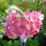 Hydrangea macrophylla Oregon Pride (1)