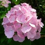 Hydrangea macrophylla Sweet Fantasy