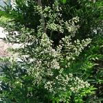 Nandina domestica Leucocarpa (1)