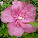 Hibiscus syriacus Magenta Chiffon (2)