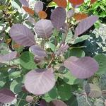 Cotinus coggygria Lilla (1)