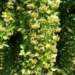 Physocarpus opulifolius Angel Gold (1)