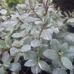 Pittosporum tenuifolium Silver Ball (2)