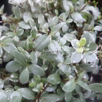 Pittosporum tenuifolium Silver Ball (1)