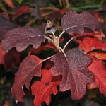 Hydrangea quercifolia Burgundy (3)