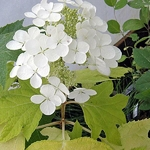 Hydrangea quercifolia Little Honey