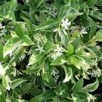 Trachelospermum jasminoides Variegatum (2)