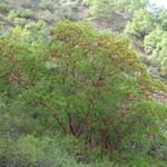 Arbutus andrachne (3)