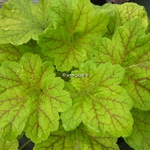 Heuchera Electric Lime