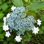 Hydrangea macrophylla Hanabi