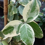 Trachelospermum jasminoides Variegatum (3)