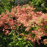 Acer palmatum Beni-schichihenge (2)