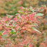 Acer palmatum Beni-schichihenge (1)
