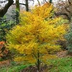 Acer palmatum Crippsii (3)