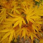 Acer palmatum Crippsii (2)