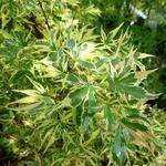 Acer palmatum Beni Schichihenge (3)
