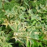 Acer palmatum Beni Schichihenge (1)