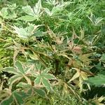 Acer palmatum Beni Schichihenge (2)