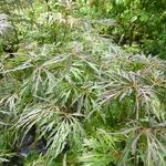 Acer palmatum Crimson Queen (1)