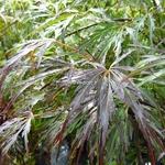 Acer palmatum Crimson Queen (2)