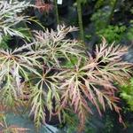 Acer palmatum Dissectum Crimson Princess (1)