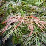 Acer palmatum Dissectum Crimson Princess (2)