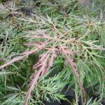 Acer palmatum Dissectum Crimson Queen (1)