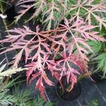 Acer palmatum Dissectum Crimson Queen (2)