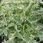 Acer palmatum Roseomarginatum (2)