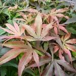 Acer palmatum Shaina (1)