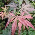 Acer palmatum Shaina (2)