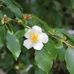 Stewartia monadelpha (3)