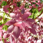 Stewartia monadelpha (9)