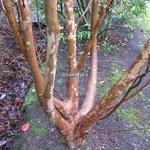 Stewartia monadelpha