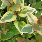 Abelia grandiflora Mystic Daydream (2)
