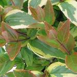 Abelia grandiflora Mystic Daydream