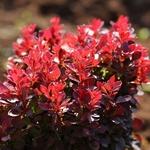 Berberis thunbergii Lutin Rouge (3)