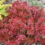 Berberis thunbergii Lutin Rouge (1)