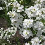 Exochorda Springtime (1)