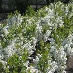 Exochorda Springtime